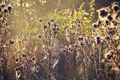 Thistle with cobweb Royalty Free Stock Images