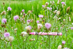 Thistle Colored Crayon with Real Flowering Thistles Royalty Free Stock Images