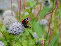 A thistle with a colorful butterfly. Red admiral buddleja davidii butterfly on a great globe thistle echinops spheerosphalus or pale globe-thistle royalty free stock photos