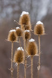 Thistle covered with snow Royalty Free Stock Photography