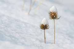 Thistle covered with snow. Dry thistle covered with snow Stock Photo