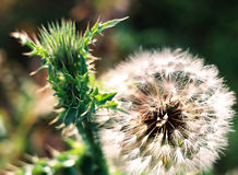 Thistle and dandelion. Close up of a green thistle and dandelion Stock Photos