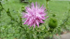Thistle in Daylight Royalty Free Stock Photography
