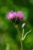 Thistle de campo (heterophyllum do Cirsium) Foto de Stock