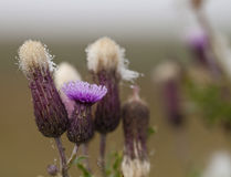 Thistle and Dew Royalty Free Stock Photo