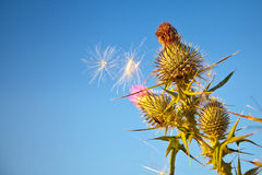 Thistle Down Stock Photography