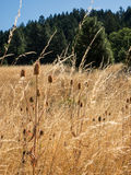 Thistle and dried grass field Stock Image