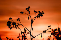 Thistle, dry grass silhouette Royalty Free Stock Photography