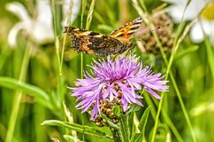 Thistle e borboleta Fotografia de Stock Royalty Free