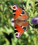 thistle för fjärilsblommapåfågel Royaltyfria Bilder