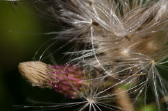 Thistle Fibers Glistening in the Sunlight Royalty Free Stock Image