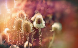 Thistle field ( burdock) lit by sunlight Stock Photography