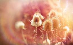 Thistle field (dry burdock) Royalty Free Stock Photos