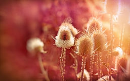 Thistle field lit by sunlight Royalty Free Stock Image