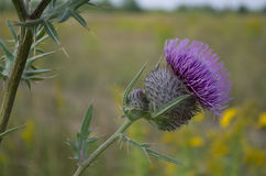 Thistle in the field. Royalty Free Stock Photos