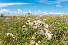The Thistle field. In the summer in the field Royalty Free Stock Image