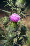 Thistle flower Stock Photography