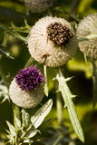Thistle flower. Close look on purple thistle flower stock images