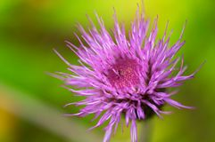 Thistle flower. Russian North. Russian Lapland. Arctic nature Royalty Free Stock Image