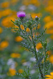 Thistle flower. Pink Thistle flower on a yellow flowers background stock photos