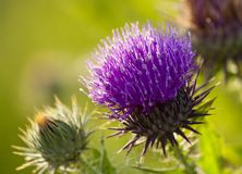 Thistle flower Stock Photos