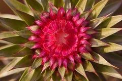 Free Thistle Flower Royalty Free Stock Photo - 48452075