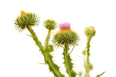 Thistle flower Royalty Free Stock Images