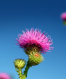 Thistle flower Stock Photo