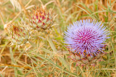 Thistle flower and artichokes unopened in a dry sown Stock Image