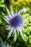 Thistle flower background. Close up Stock Photos