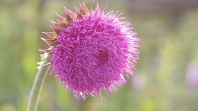 Thistle Flower in Bloom in the field,flower swings from the whiff of the wind, thistle moving in the breeze at sunset stock video footage