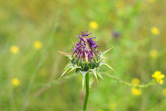Thistle flower in bloom Stock Photography