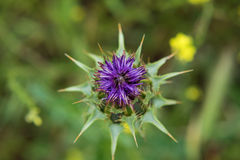 Thistle flower in bloom Stock Images