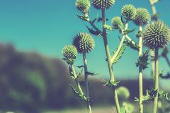 Thistle flower in bloom in summer morning Royalty Free Stock Photography