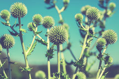 Thistle flower in bloom in summer morning Royalty Free Stock Photos