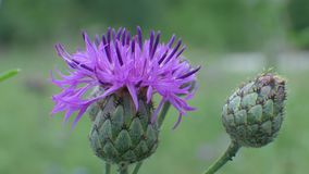 Thistle Flower Blossom on Green Background. Carduus crispus, curly plumeless thistle or welted thistle blossom on green background stock footage