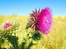 Thistle in flower. stock photos