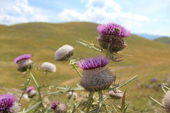 Thistle flower burdock landscape Bjelasnica. Beautiful landscape on the mountain Bjelasnica few days of flowering thistle Stock Photos