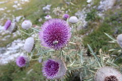 Thistle flower burdock landscape Bjelasnica and Bee. Beautiful landscape on the mountain Bjelasnica few days of flowering thistle Stock Photo