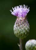 Thistle flower, close-up Royalty Free Stock Images