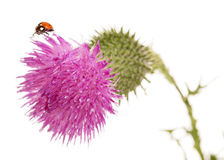 The Thistle flower closeup isolated on white Stock Photography