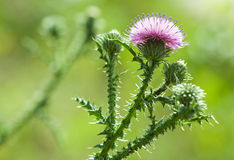 Thistle flower closeup Royalty Free Stock Photos