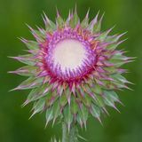 Thistle Flower closeup stock images