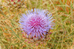 Thistle flower in a dry sown, prickly atmosphere Royalty Free Stock Image