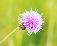 Thistle Flower Royalty Free Stock Photos