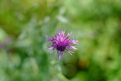 The Thistle flower Royalty Free Stock Image