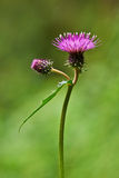 Thistle flower. Flowers of wild thistle vertically Stock Photo