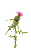 Thistle flower and foliage royalty free stock images