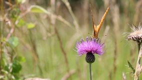 Thistle flower stock footage