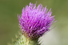 Thistle flower head. Royalty Free Stock Photos